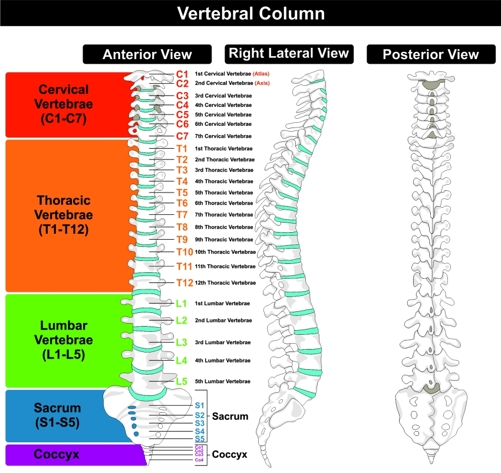Diagram of human spine